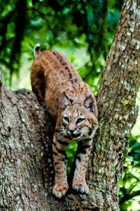 Bobcat photo by Charley Moore